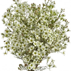 Waxflower Hybrid White