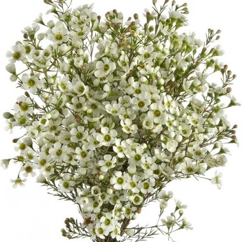 Waxflower Hybrid White