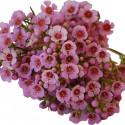 Waxflower Hybrid Pink