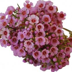 Waxflower Pink