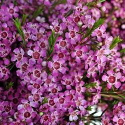 Waxflower Purple