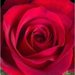 Freedom Red Roses