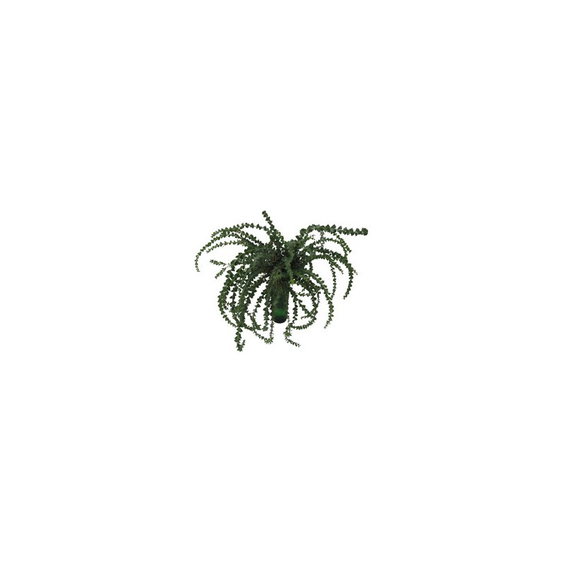Acacia Knifeblade