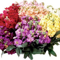 Stock Assorted Box 6 Bunches