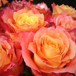 Free Spirit Roses 125 stems