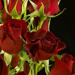 Spray Roses Solid Red By...