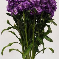 Stock Lavender