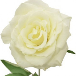Eskimo Roses