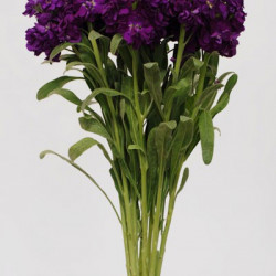 Stock Royal Purple