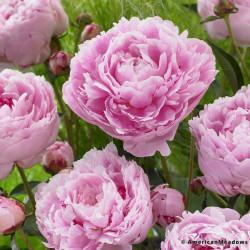 Sarah Bernhardt Peonies 50 Stems