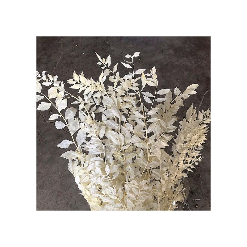 Italian Ruscus Bleached 10 Bunches