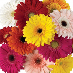 Gerbera Daisy By the Bunch