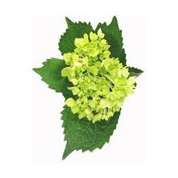 Hydrangea Mini Green 40 Stems