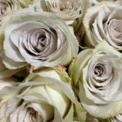 Earl Grey Lavender Rose / 125 Stems