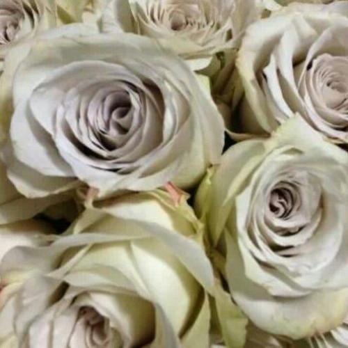 Earl Grey Lavender Rose / 125 Stems