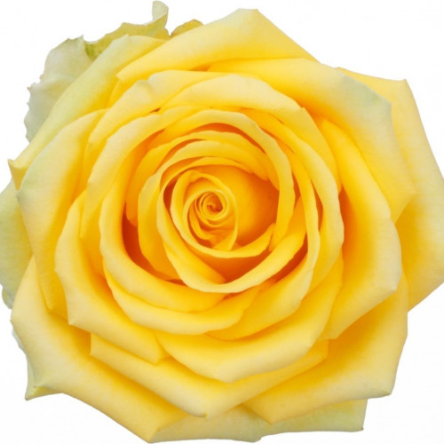 High and Exotic Yellow Rose