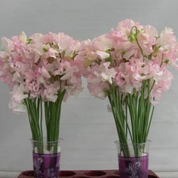 Sweet Pea 50 Stems Blush/White
