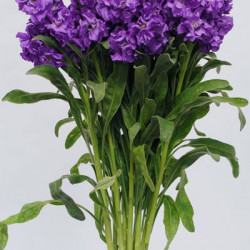 Stock Violet