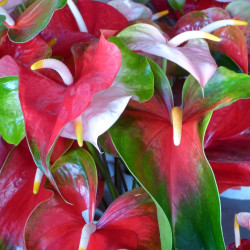 Anthurium Designer Mix Assorted