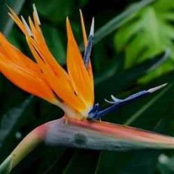 Bird of Paradise 40 Stems