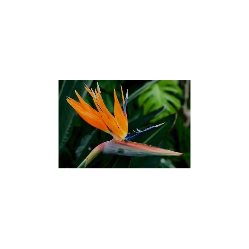 Bird of Paradise 40 Stems