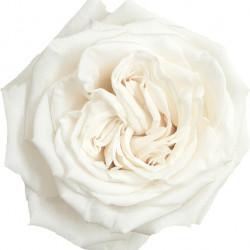 Playa Blanca Roses 100 stems