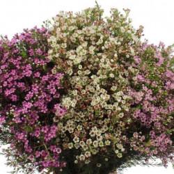 Waxflower Assorted 14 bunches