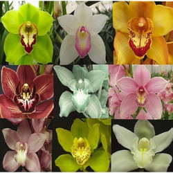 Cymbidium Orchids Assorted 5 Stems