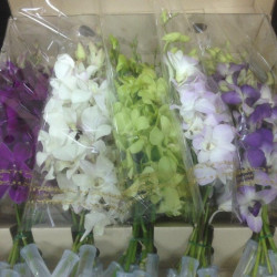 Dendrobium Orchids Assorted 40 Stems