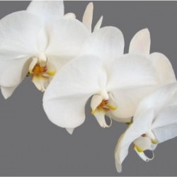 Phalaeonopsis Orchids Assorted 10 Stems