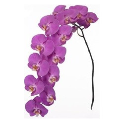 Phalaeonopsis Orchid Purple 10 Stems