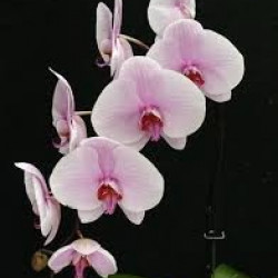 Phalaeonopsis Orchid LIght Pink 10 Stems
