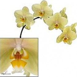 Phalaeonopsis Orchid Yellow 10 Stems