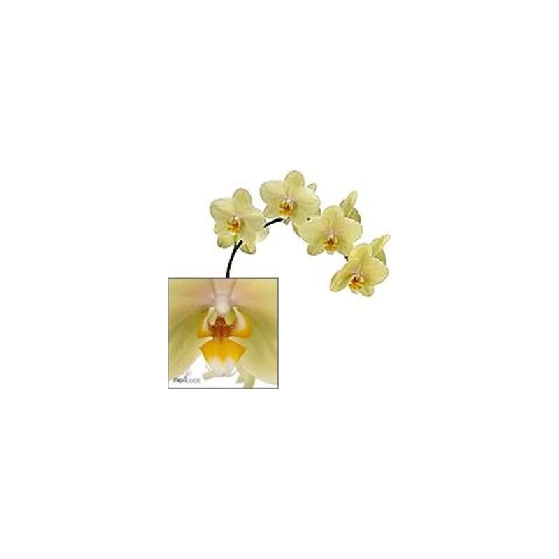 Phalaeonopsis Orchid Yellow 10 Stems