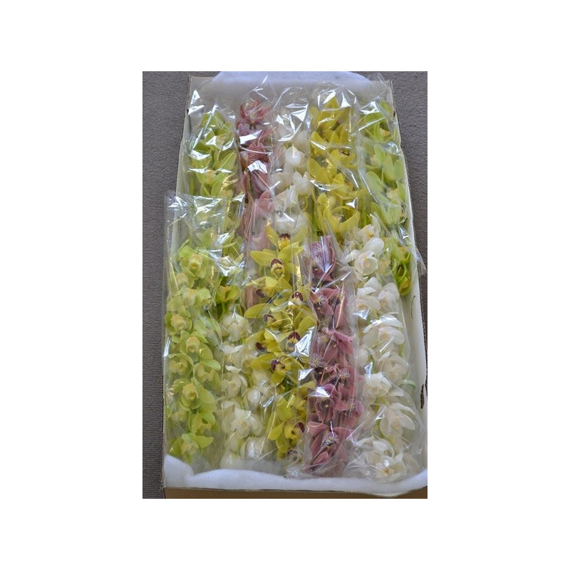 Cymbidium Orchids Assorted