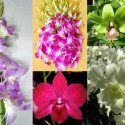 Dendrobium Orchids Assorted 70 Stems