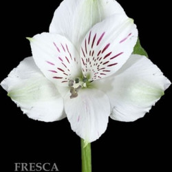Alstromeria White By the Box