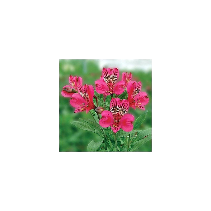 Alstromeria Hot PInk By the Box