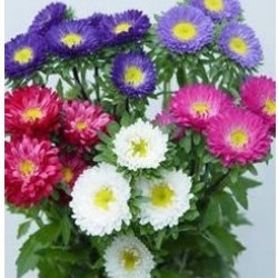 Matsumoto Asters 5 Bunches