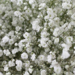 Gypsophila By the Bunch
