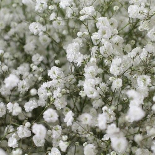 Gypsophila By the Box 13 Bunches