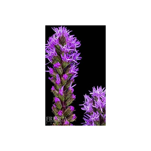Liatris By the Box 12 Bunches