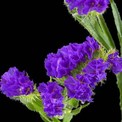 Statice Giant Blue 11 Bunches