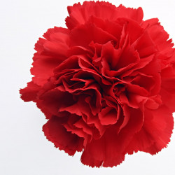 Carnations Solid Red