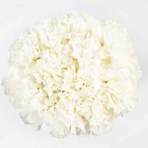 Carnations Solid White