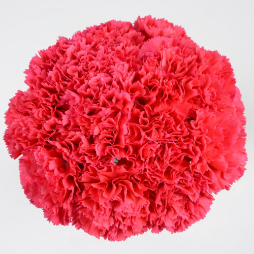 Carnations Solid Hot PInk