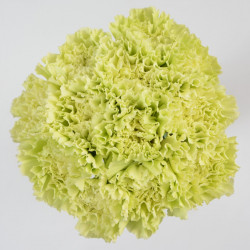 Carnations Solid Green