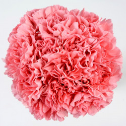 Carnations Solid Light PInk