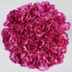Carnations Solid Purple