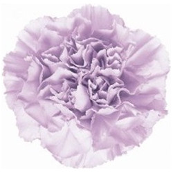 Carnations Solid Lavender